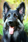Shiloh Shepherd Portrait - Original Photo